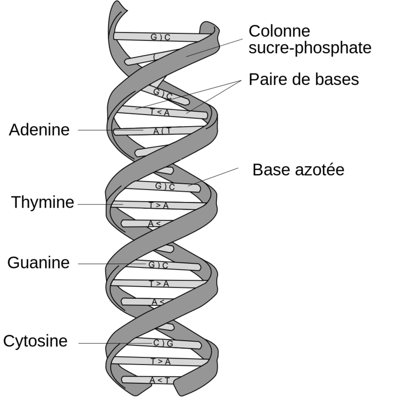 DNA_structure_and_bases_FR.svg