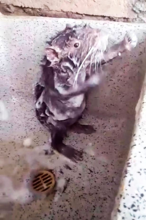 PAY-RAT-SHOWERS-LIKE-HUMAN